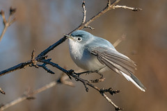BG_Gnatcatcher (jmishefske) Tags: wehr d850 wisconsin nikon park gnatcatcher nature bird bluegray center whitnall milwaukee 2019 franklin april