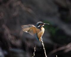 カワセミ  Kingfisher (Kazuo2010) Tags: カワセミ kingfisher 野鳥