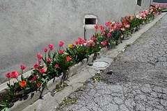 Flowers @ Châtillon-sur-Cluses @ Hike to Mont Orchez (*_*) Tags: 2019 may afternoon spring printemps europe france hautesavoie 74 cluses savoie hiking mountain montagne walk marche randonnee nature