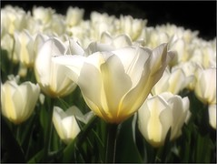 (Tölgyesi Kata) Tags: withcanonpowershota620 botanicalgarden vácrátót botanikuskert vácrátótibotanikuskert nemzetibotanikuskert spring tavasz tulipán tulip tulpen flower