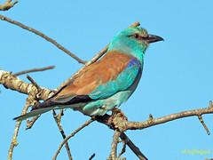 Carraca europea (Coracias garrulus) (27) (eb3alfmiguel) Tags: aves pájaros insectívoros coraciiformes coracidae carraca europea coracias garrulus
