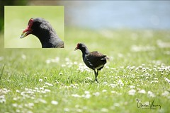 Moorhen about to take up smoking (Gavin E Young) Tags: moorhen bird canon 5ds smoking
