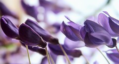 My Photo: Flowering wisteria buds in my garden. (Gigliola Spaziano) Tags: explore