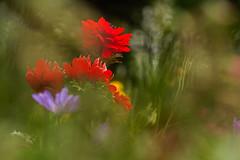 **Colorful Spring** (**klaracolor**) Tags: govenoranemone coronaria stbrigidgovenor klaracolor klara red flower flowers flora canon7d klarathomas anemonecoronariastbrigid anemoneblanda govenor gardenflower garden