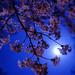 夜桜 - Blossom