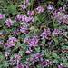 Kolab Canyon wildflowers