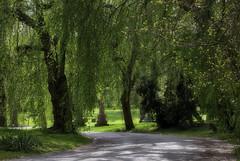 Not really weeping willows IMG_9781_edit (ForestPath) Tags: trees gravestones littleroad cemetery graveyard cincinnati ohio
