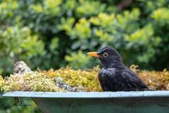 Merle noir (sfrancois73) Tags: oiseau jardin merlenoir affût