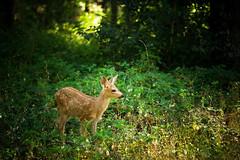 Happy Easter (sebboh) Tags: sonya7kolariut fawn deer portland oregon pdx forest wildlife spring easter