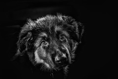 Cleo (Julie Holland photography) Tags: dog dogs blackwhite animal pet