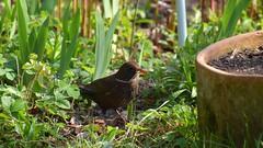 building a nest (JoannaRB2009) Tags: bird animal blackbird nesting garden spring