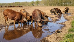Pigs in paradise (Ramireziblog) Tags: farm kudde modder mud pigs groningen akkervarken varken pig