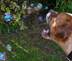 P1430372 (businessofferrets) Tags: harold dog staffy sheffielddogrescue