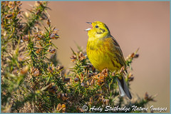 Male Yellowhammer Singing (www.andystuthridgenatureimages.co.uk) Tags: yellowhammer male bunting yellow moorland gorse dartmoor uk sing singing song canon national park