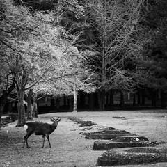 Deer in spring in Nara Park (HarQ Photography) Tags: panasonic lumix s1r s24105mmf4 nara japan narapark deer animal morning spring cherryblossom landscape monochrome blackandwhite