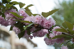 _1011199.jpg (plasticskin2001) Tags: flower sakura micronikkor f28s ai 55mm