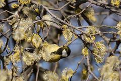Great tit (Jens Hyldstrup Larsen) Tags: musvit greattit parusmajor passeriformes spurvefugle paridae mejser