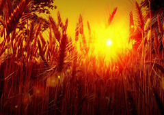 Sunset in the Cornfield (Fr@ηk ) Tags: sunset red corn cornfield landscape sundown haze flare art beautiful beauty mood relax enjoy sky sun vangogh hideandseek hidden yellow color colorful bright air explosion sunburst mrtungsten62 frnk wheat photo friends interest eu party greatphotographers flickering