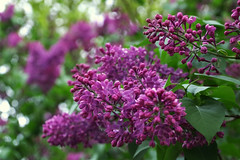 IMGP8224 (PahaKoz) Tags: весна природа сад цветение цветы сирень spring nature garden blossom bloom blossoming lilac flora флора