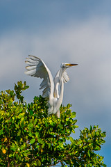 Great White Heron (Jim Liestman) Tags: dingdarlingnwr greatwhiteheron heron bird sanibelisland treetop