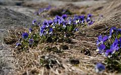 violets (helena.e) Tags: helenae husbil rv motorhome älsa påsk vinga hönöbåtturer viol violets