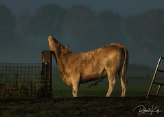 When it itches.....! (Jambo53 ()) Tags: koeien crobertkok nikond800 cow nature netherlands nederland holland earlymorning fence hek pool paal polder magiclight sunrise explored