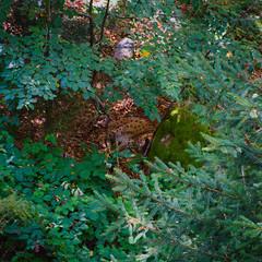 Bavarian-Forest-2018_15 (rhomboederrippel) Tags: rhomboederrippel fujifilm xe1 september 2018 europe germany bavaria nationalpark bayerischer wald neuschönau zoo lynx forest