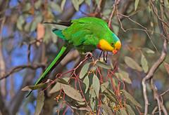 Superb Parrot (christinaportphotography) Tags: superbparrot polytelisswainsonii parrot cootamundra nsw australia bird birds wild free