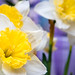 Close-up of Narcissus flowers