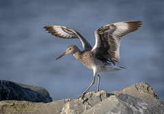 Willet (Kevin James54) Tags: catoptrophorussemipalmatus nikond850 tamron150600mm willet wilmington animals avian bird fortfisher kevingianniniphotocom