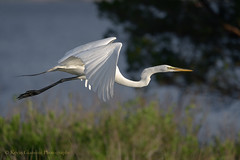 Great Egret (Kevin James54) Tags: greategret nikond850 tamron150600mm wilmington animals ardeaalba avian bird egret fortfisher kevingianniniphotocom