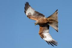 Red Kite (Unintended_Keith) Tags: redkite magnificent stunning raptor birdinflight bird nature wildlife canon1dx sigma150600mms