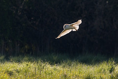 Ghostly sighting (DavidHowarthAgain) Tags: oldmoor southyorkshire rspb dearnevalley spring nature april 2019 barnowl tytoalba