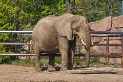 20.04.2019 12-21-1400 (TheFan1968) Tags: berlin tierpark friedrichsfelde tier elefant