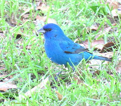 male indigo bunting19 (Patricia Pierce) Tags: indigobunting bunting alabama alabamawildlife alabamabackyardwildlife audubon mobilealabama nationalwildlifefederation thenatureconservancy backyardwildlife nationalgeographic
