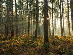 Delamere Forest Sunrise Rays #1 (Rob Pitt) Tags: delamere forest mist pine trees winter spring sony a7rii mere cheshire 1740 light beams rays sunrise sunbeam wood tree
