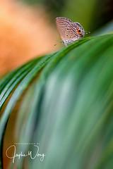 Plain Cupid (17) (ジェイリー) Tags: butterflies eco plaincupid chiladespandava 曲紋紫灰蝶 蝴蝶 動物 昆蟲 微距 戶外 pentaxdfamacro100mmf28wr 植物 草
