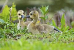 Canada goose goslings (WhiteEye2) Tags: canadagoosegosling canadageesegoslings canadageese geese birds wildife nature babyanimals goslings cute adorable