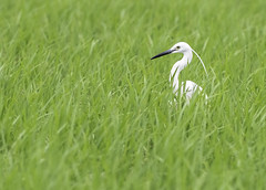 Little Egret in a field. Egretta garzetta (okiox) Tags: egrettagarzetta little snowy egret 白鷺 animal bird okinawa japan asia winter white heron feld background green solitary avian wildlife d500 migratory beautiful beak pose portrait 白鷺 鳥 野​鳥 birdphotography birdphoto naturephotography wildlifephotography egrets wild telephoto
