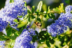 Keeping busy (Lux Aeterna - Eternal Light) Tags: bee