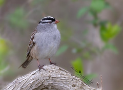 White-crowned Sparrow (Bill McDonald 2016) Tags: sparrow whitecrowned migrant perched perching photography billmcdonald cute tree nature ontario canada cambridge