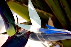 Exit Stage Right (Mark A. Morgan) Tags: birdofparadise camarillo california markamorgan blueandwhite abstract flower