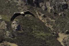 White Tailed Eagle (Ian Hufton Photography - Landscape & Wildlife) Tags: isleofskye scotland wild wildlife ianhufton whitetailedseaeagle