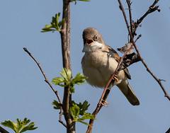 13 04 2019 (cathyk31) Tags: oiseau fauvettegrisette commonwhitethroat passériformes sylviacommunis sylviidés bird
