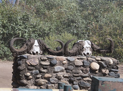 DSC_3722_1 (Marshen) Tags: capebuffalo bones zambia