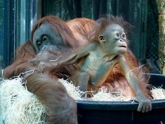 Théodora et Java (13) (Mhln) Tags: ménagerie zoo zoologique parc park paris france 2019 animaux sauvages préservation orangoutan orangsoutans