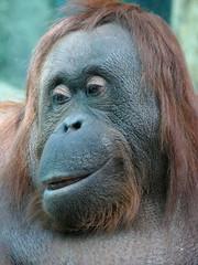 Théodora (3) (Mhln) Tags: ménagerie zoo zoologique parc park paris france 2019 animaux sauvages préservation orangoutan orangsoutans