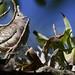 Inca Dove, Columbina inca Ascanio_Best Costa Rica 199A5361