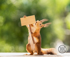 red squirrel holding an  sign (Geert Weggen) Tags: animal anniversary birthday celebration cheerful closeup colorimage cute food iloveyou joy looking loveemotion mammal nature newlife nopeople partysocialevent photography postcard reaching red relaxation rodent seat singleobject squirrel sweden text valentinesdayholiday flower humor beauty tender hold carry mothersday happy mother passion readthis manual sign instruction blind see geert weggen jämtland ragunda bispgården hardeko