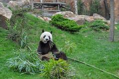 Bon appétit (balese13) Tags: 100nikon 1855mm beauval d5000 loiretcher nikonpassion saintaignan balese nikon panda zoo bestiole